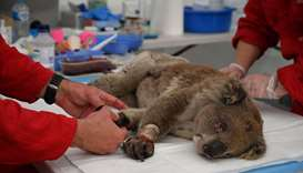 An injured Koala is being treated for burns by a vet at a makeshift field hospital at the Kangaroo I