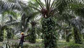 A worker collects palm oil fruits at a plantation in Bahau, Negeri Sembilan, Malaysia