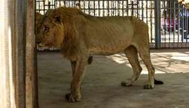 A malnourished lion walks in his cage at the Al-Qureshi park in the Sudanese capital Khartoum