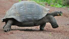 Scientists to search for relatives of extinct Galapagos tortoises