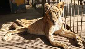 A malnourished lioness sits in its cage after receiving treatment at al-Qureshi park in the Sudanese