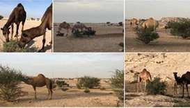 MME call to abide by camel grazing ban