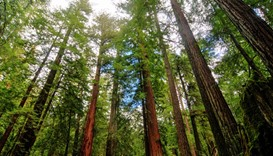 Tens of millions of California trees threatened by drought