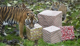 Sumatran tigers open up Christmas presents in their enclosure at London Zoo