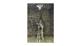 The rare Rothschild's giraffe calf stands with its mother at Chester Zoo in north west England. The