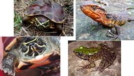 A snail-eating turtle (Malayemys isan), a Vietnamese crocodile lizard  and A vibrantly colored frog