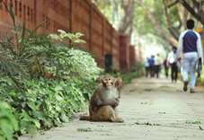 Monkeys run amok in India's corridors of power