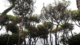 Insect invaders threaten Rome's iconic pines