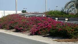 Plants and flowers that decorate Qatar roads. PICTURE: Shemeer Rasheed
