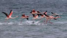 A flamboyance of flamingos flies above the waters of the Black Sea