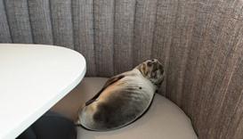 Sea lion takes a booth at San Diego restaurant on the beach
