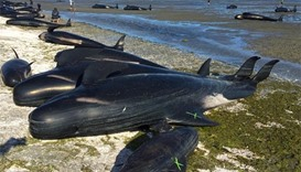 New Zealanders race to rescue stranded whales