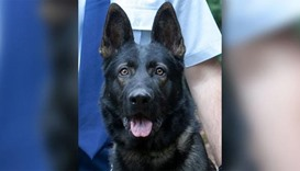 Police dog dies of heat stroke after chasing car thief in Australia
