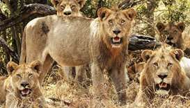 A pack of lions at Kruger National Park