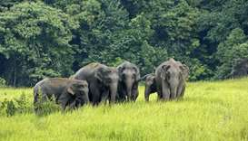 Wild elephants of  Koshi Tappu Wildlife Reserve