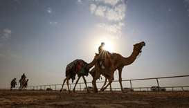 Kuwaiti men arrive with a herd of camels