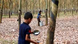 Workers collect rubber sap at a farm in Tbong Khmum province, Cambodia