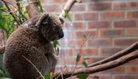 A koala displaced and injured by Australia's bushfire crisis is seen at the campus of Australian Nat