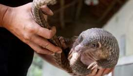 A man holds a pangolin at a wild animal rescue center in Cuc Phuong, outside Hanoi, Vietnam on Septe