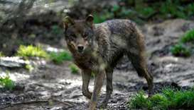 Spain's wolf-hunting ban sparks bitter debate in rural north