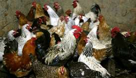 Chickens await vaccination against bird flu at the settlement