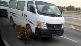 Tiger on the loose in Doha traffic jam