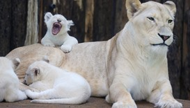 "One of four white lion babies tries to roar as it sits on the back of its mother ""Kiara"""