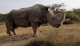 The last surviving male northern white rhino named 'Sudan' is seen at the Ol Pejeta Conservancy in L