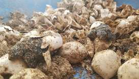 Olive ridley sea turtle hatchlings and their eggs in a container as they are helped by wildlife cons