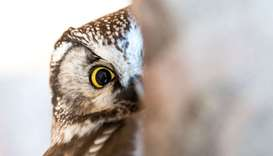 A rough-toed owl looks around in his enclosure