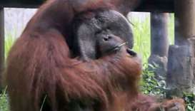Orangutan named Ozon smoking