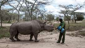 Sudan, the last surviving male northern white rhino, is fed by warden in Laikipia National Park