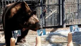 A bear attempts to predict the winner of Ukraine's presidential election at a zoo in Krasnoyarsk
