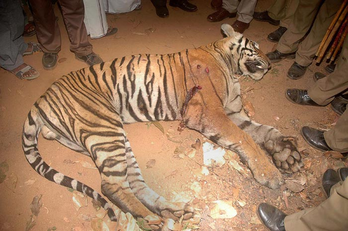'Man-eating' tiger shot dead in southern India