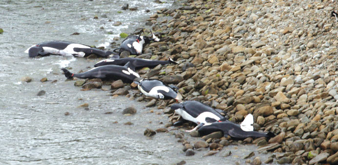 Killer whales die in rare NZ mass stranding