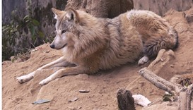Study confirms existence of ancient wolf in Nepal