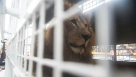 33 rescued lions to fly from Peru to South Africa