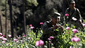 A soldier touches a poppy plant used to make heroin during an operation of destruction in Culiacan i