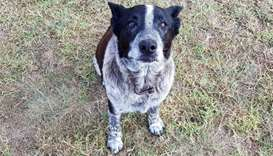 Max, a seventeen-year-old blue heeler, in Warwick after he spent the night with a lost three-year-ol