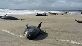 38 pilot whales die after New Zealand rescue bid abandoned