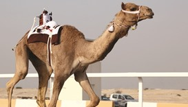 Approval process for camel racing equipment simplified