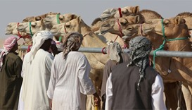 Qatar's prized racing camels bred for success