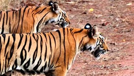 Tigers on the loose near Dutch village, police close in