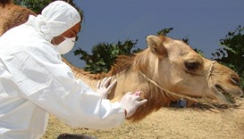 Camel worker tests positive for Mers in Qatar
