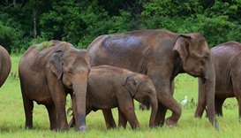 Lightning kills four elephants in Sri Lanka