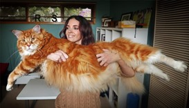 Maine Coon cat named Omar