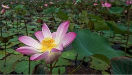 After 10-year gap, lotuses bloom again in Thailand