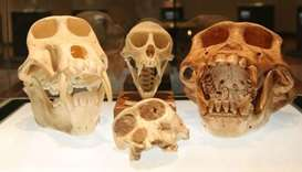 Biggest exhibit of human-like fossils goes on display