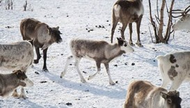 Norway to kill 2,000 reindeer to eradicate disease