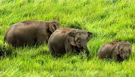 Six pygmy elephants found dead on Malaysian Borneo